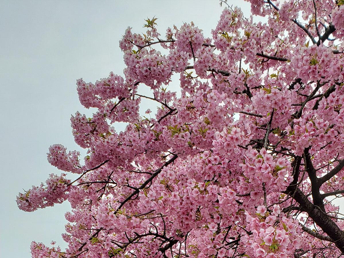 せい ほう えん 河津 桜